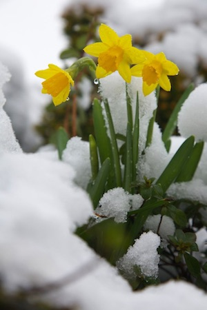 Daffodils in Snow image